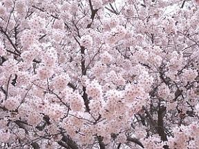開成山の桜1